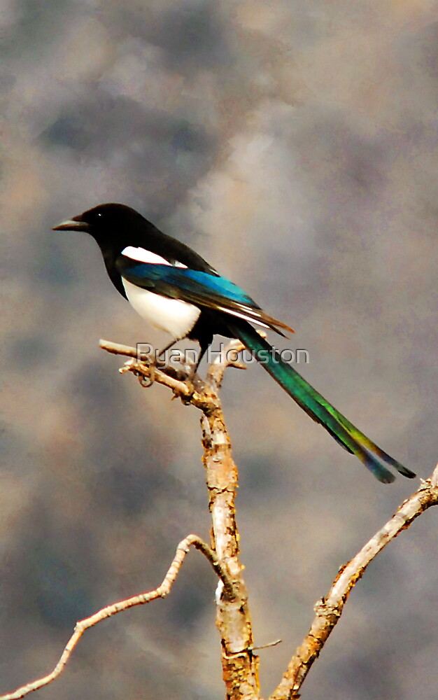 Colorful Magpie - The World Isn't Black & White by Ryan Houston