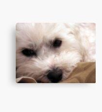 Maltese Dog Canvas Print