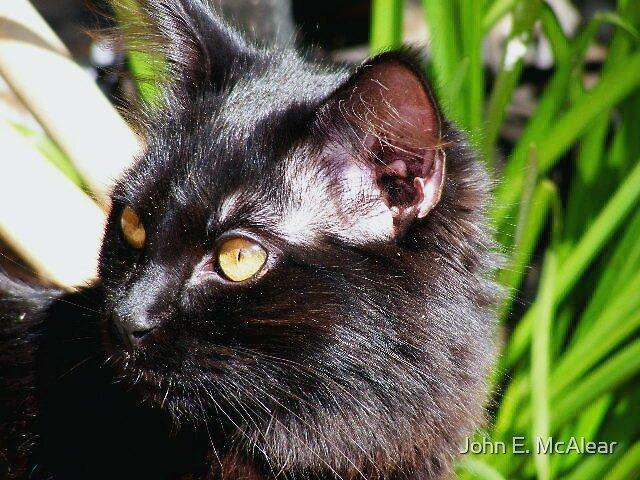 cat by John E. McAlear