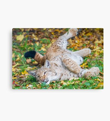 Playful Lynx Canvas Print
