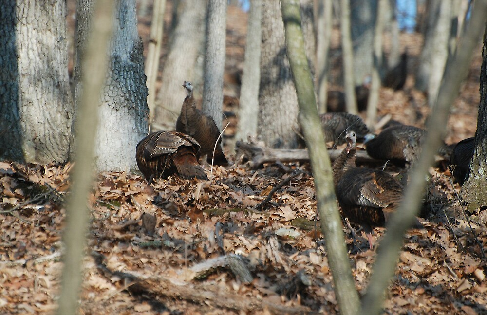 Wild Turkey Posing by Jim Caldwell