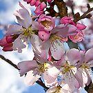 Spring is pink by Steve plowman