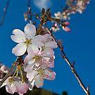 Spring blossom by Steve plowman