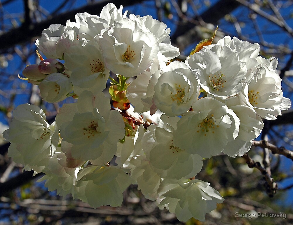 Apple Blossoms by George Petrovsky