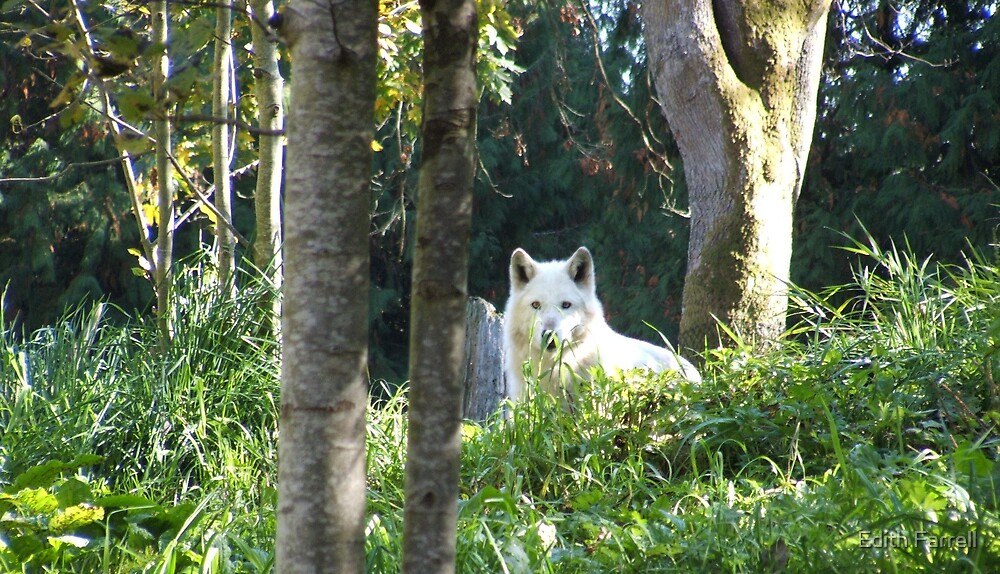 White Wolf at Woodland Park Zoo by Edith Farrell