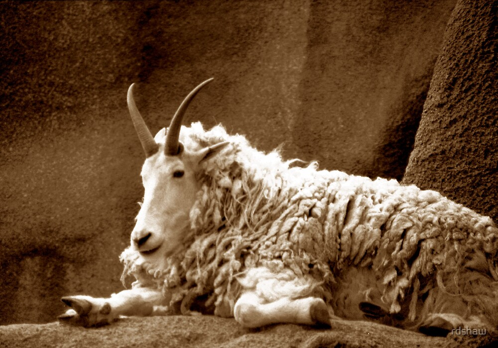 Mountain Goat by rdshaw