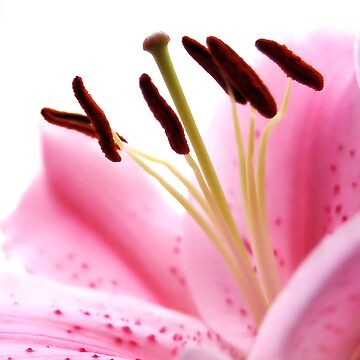 Pink Lily by janewilkinson