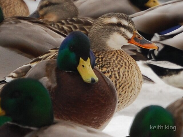 ducks by keith king