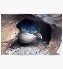 Blue Penguin - New Zealand Poster