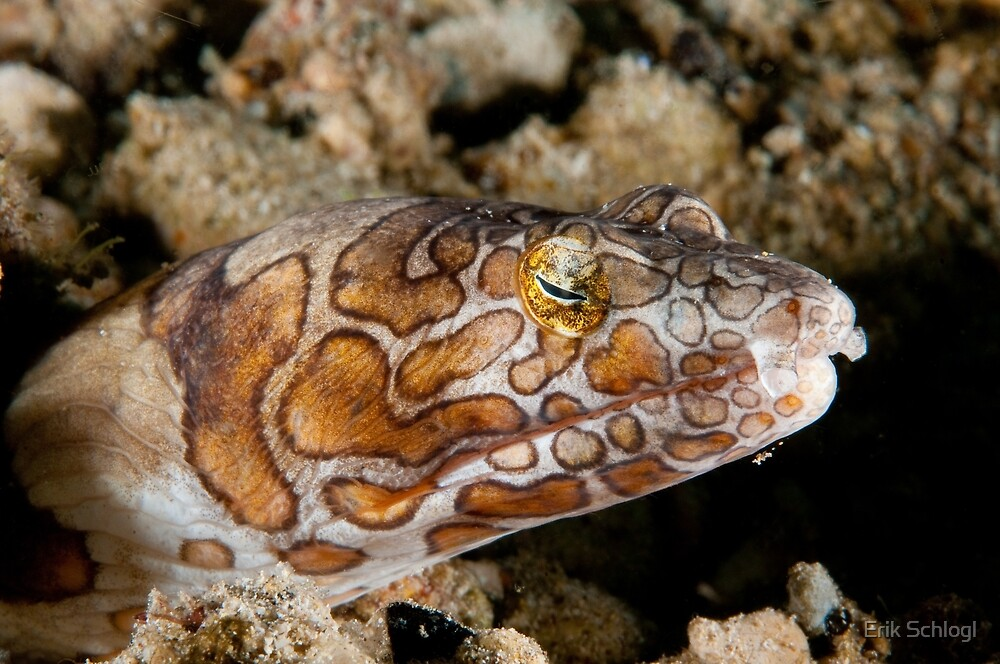 Napoleon Snake Eel, Wakatobi National Park, Indonesia by Erik Schlogl