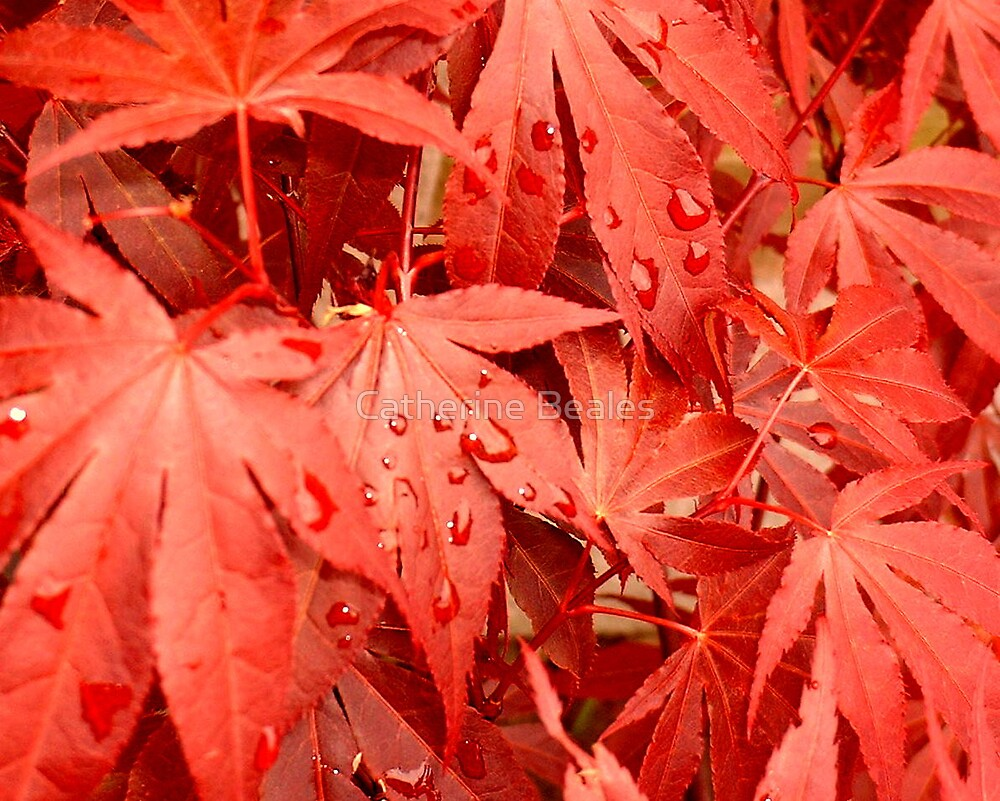 maple by Catherine Beales