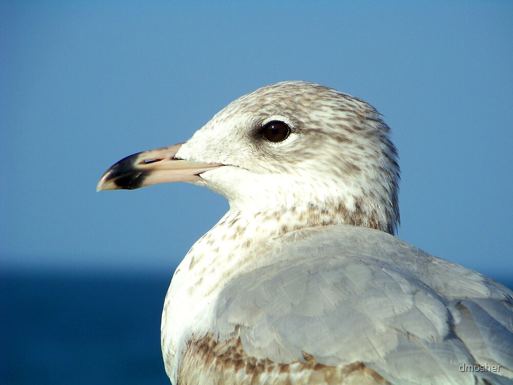Sea Gull by dmosher