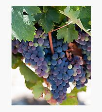 Grapes on the Vine II Photographic Print