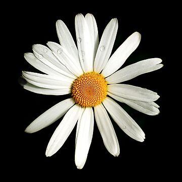 Daisy Daisy by teapotore