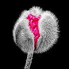 Emerging Poppy by Lynn Bolt