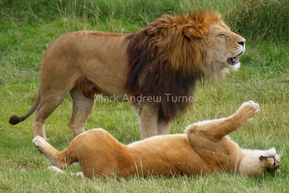 Lion & Lioness by Mark Andrew Turner