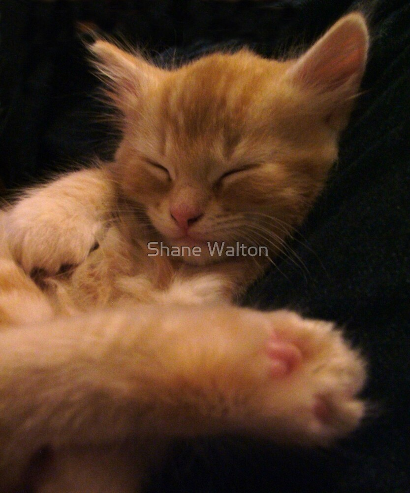 Sleeping Kitten by Shane Walton