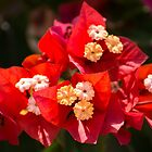 Red Bougainvillea by Zina Stromberg