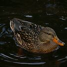 My Duck by Larry Llewellyn
