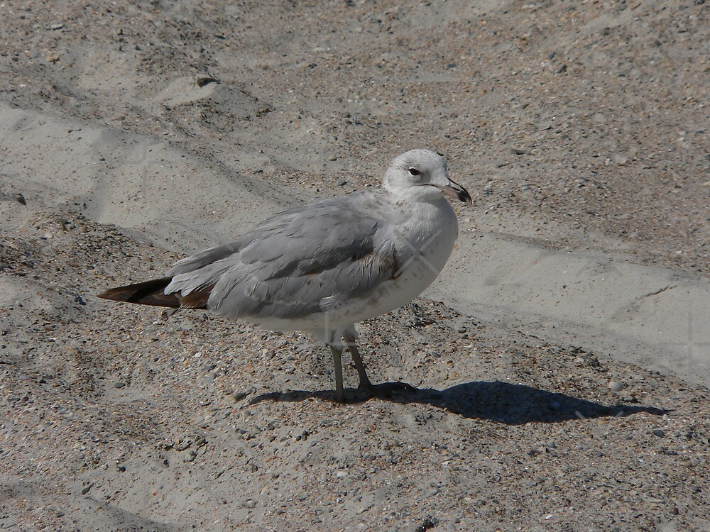 Seagull In The Sand by kevint