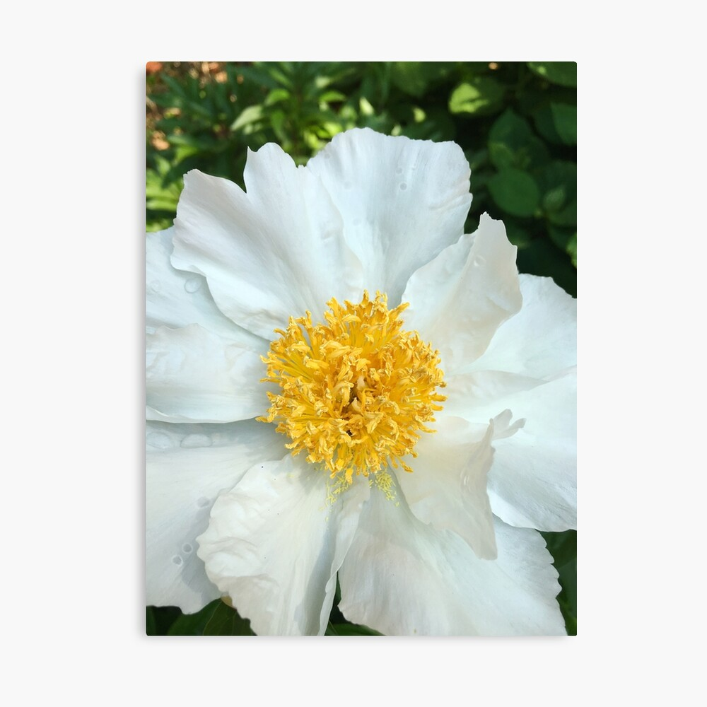 Floral Gift - Chinese Peony Photography  Canvas Print