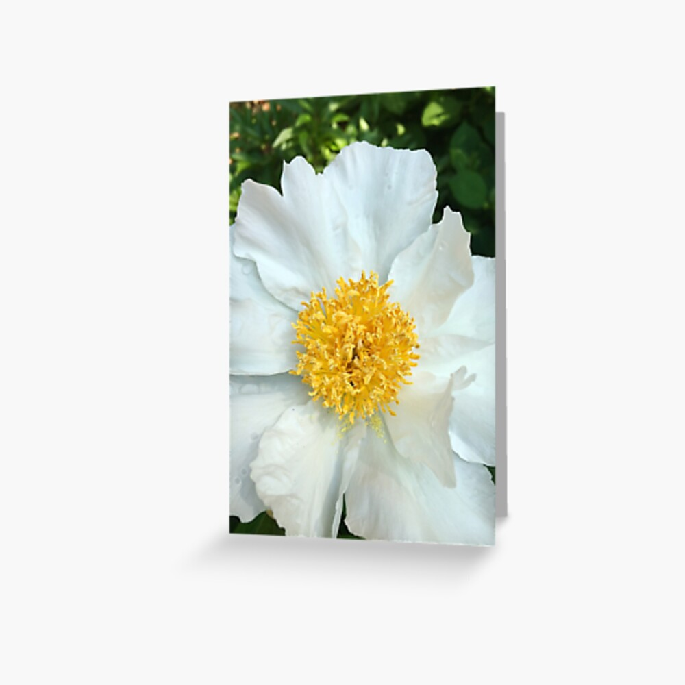 Floral Gift - Chinese Peony Photography  Greeting Card