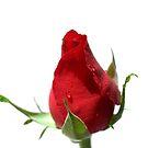 Red Rose Bud by ~ Fir Mamat ~