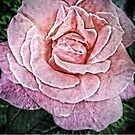 Cracked Pink Rose by OneDayArt