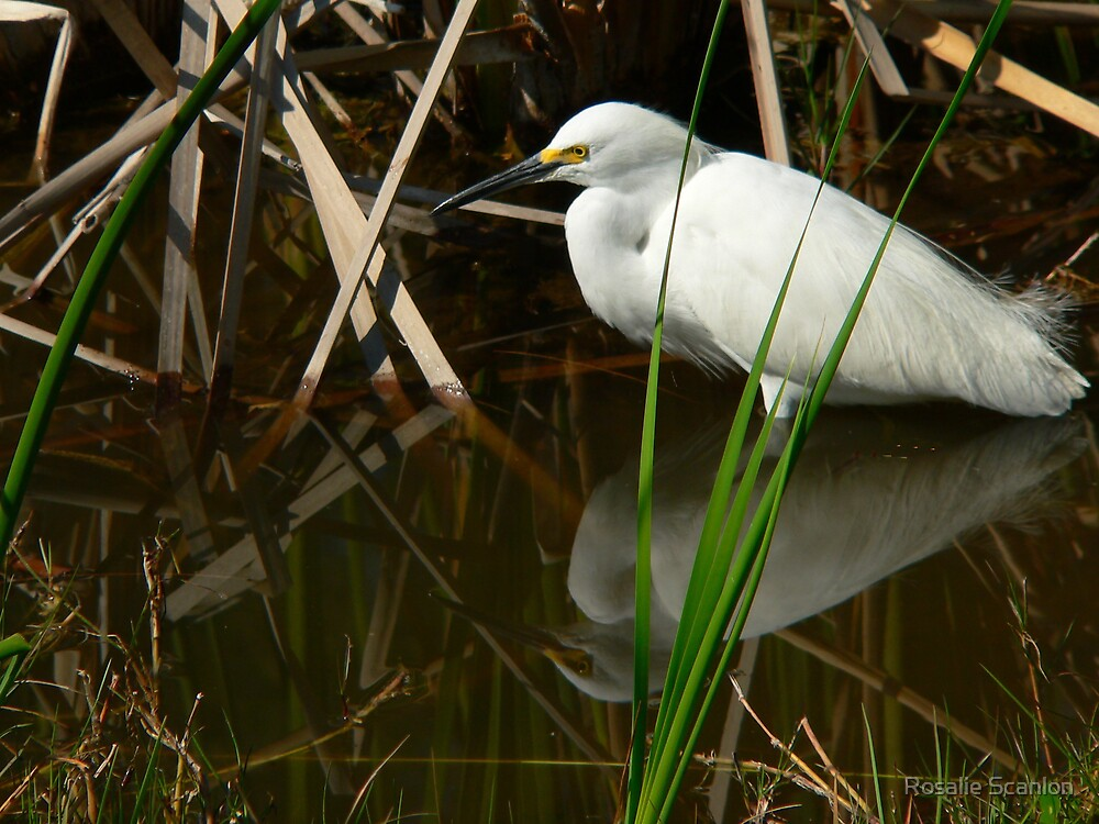 Snowy Egret and Reflection by Rosalie Scanlon