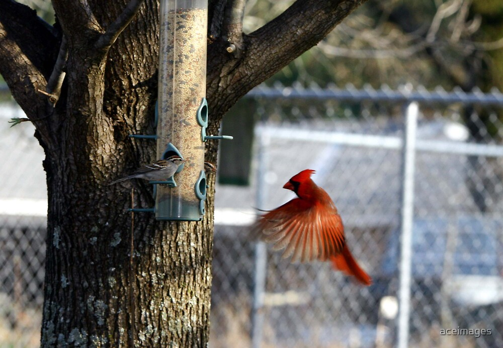 cardinal in flight by aceimages
