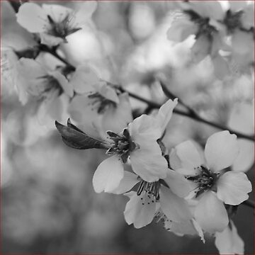 Black and White spring blossom by Chari-ot