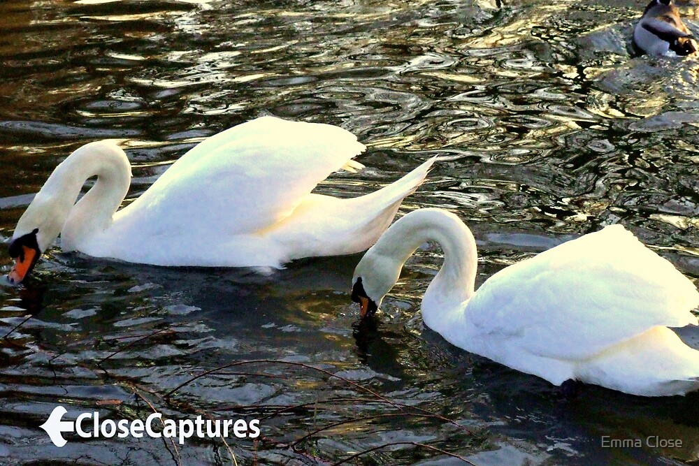 Swans on the river by Emma Close
