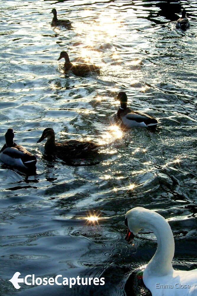 Ducks and Swans by Emma Close