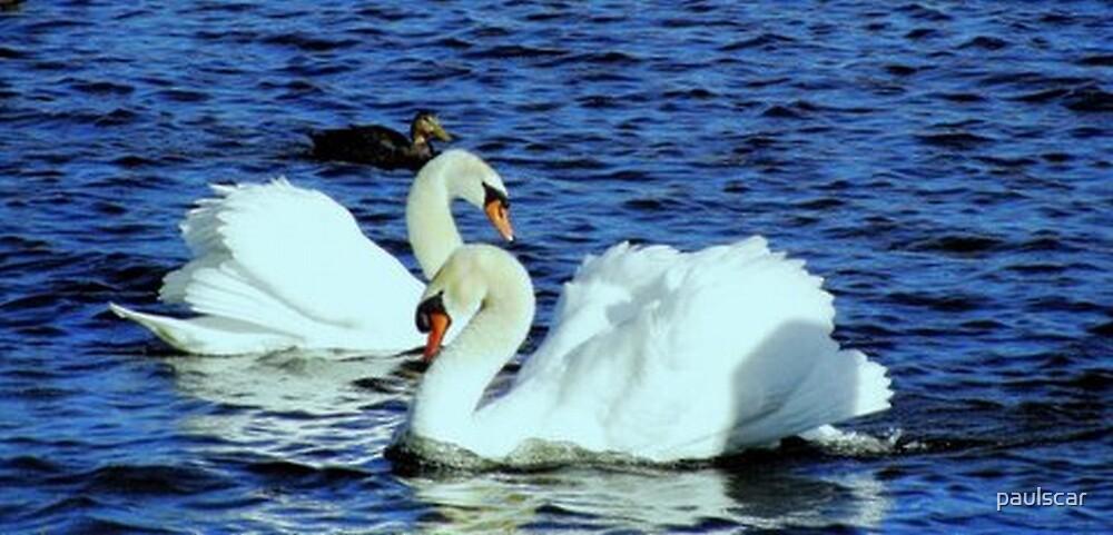 swans in love...... by paulscar