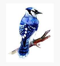 Watercolor blue jay  Photographic Print
