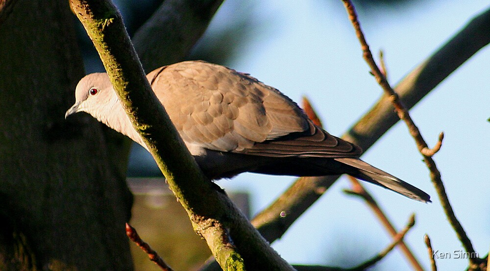 Collared Dove by Kenart