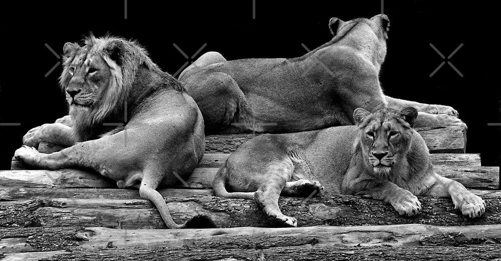 Lying Lions by Yampimon