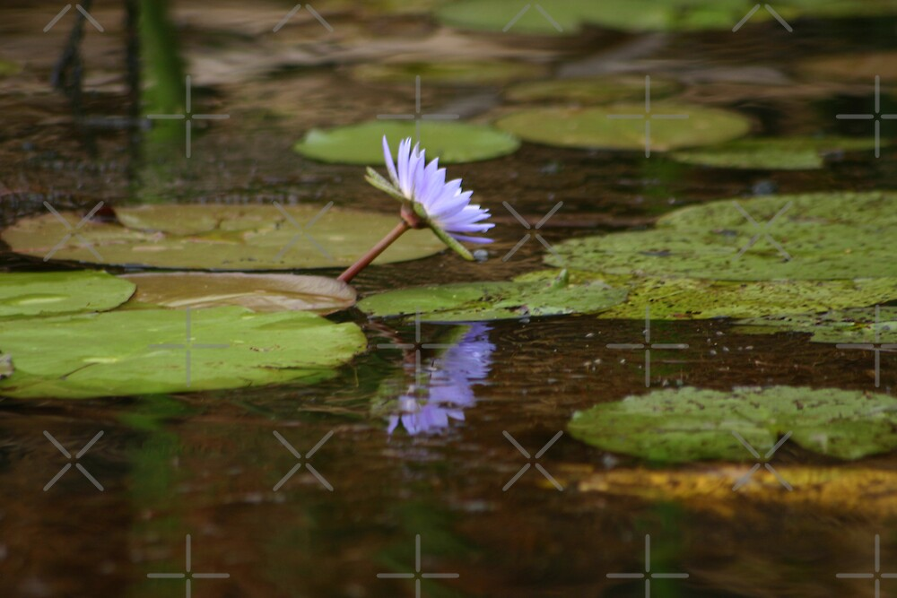 Blue Water Lily by Adrianne Yzerman