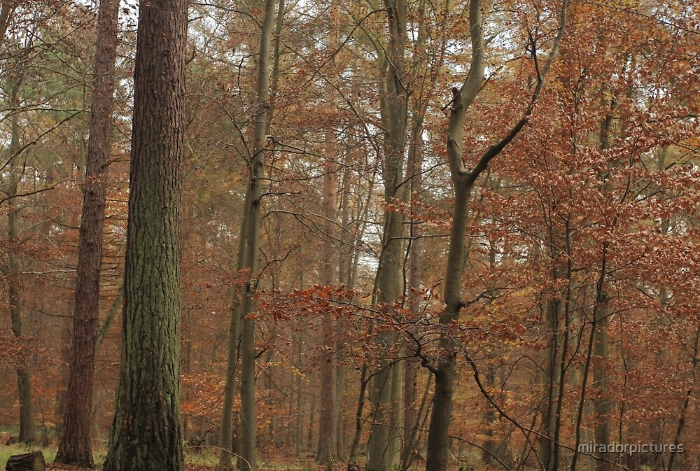 Beech trees in splendid fall color by miradorpictures