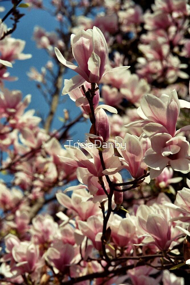 Magnolia beauty by TriciaDanby