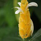 Golden Shrimp Plant by Lorelle Gromus