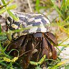 Hermit Crab - Great Bird Island Antigua by Mark Baldwyn
