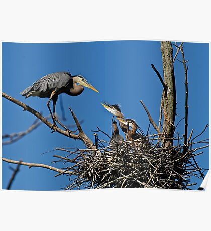 Great Blue Heron with Babies - Ottawa, Ontario Poster