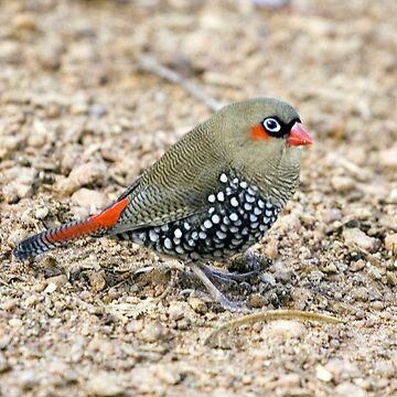 red eared firetail finch - I heard that !! by shirleyscott