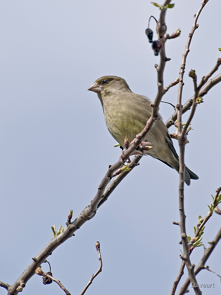 Greenfinch by Daveart