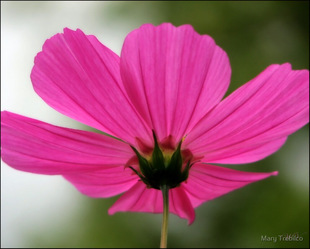Cosmos ... from a different perspective... by Mary Trebilco
