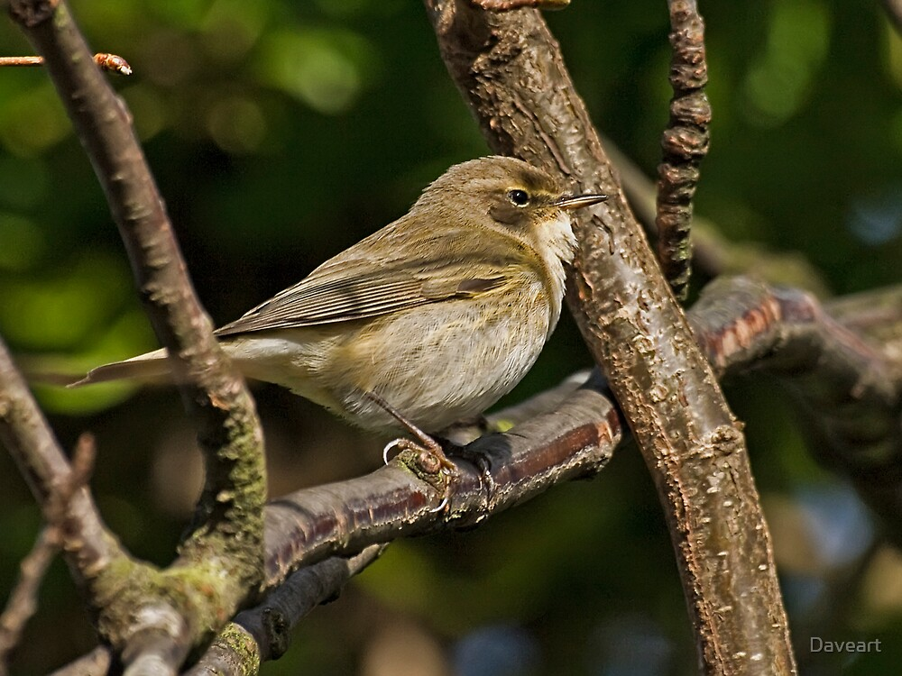 Melodious Warbler by Daveart