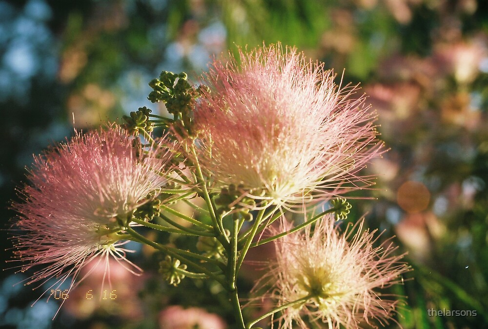 Mimosa blooms by thelarsons