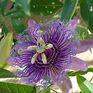 Passion Flower#2 by Cathy Jones