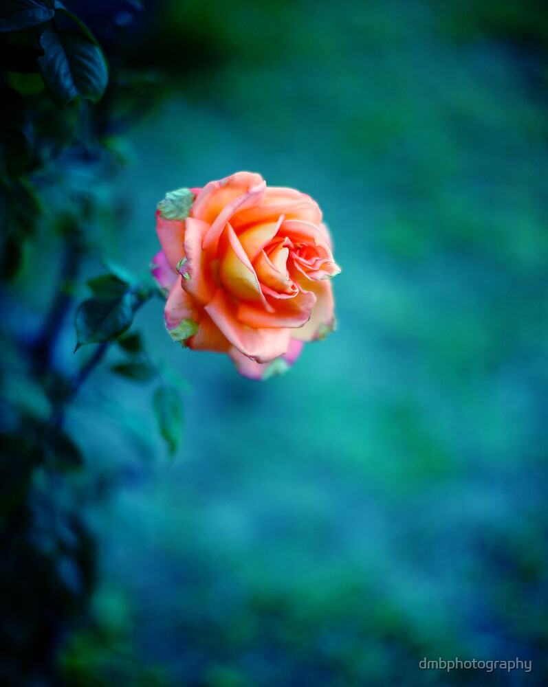 Rose by dmbphotography